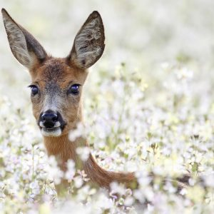 cute deer in field of radish flowers