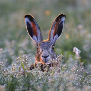 hare in a field of flowers
