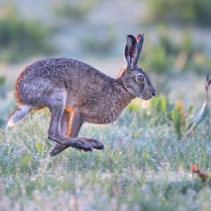 Brown hare at speed