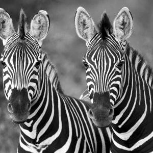 African zebra's