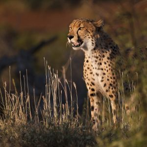 cheetah in the evening sunlight