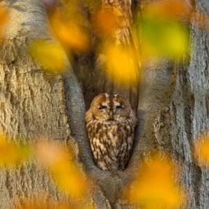 Autumn tawny