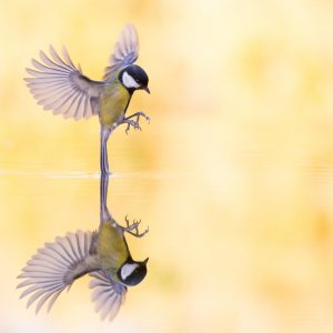 Reflection of a great tit